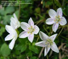 Daily bloom for July 26, 2012: spring beauty (Claytonia virginica). Photo by rainewalker.