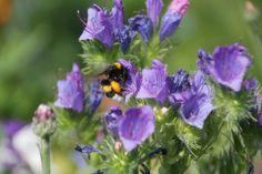 Natternkopf, der Favorit von Hummeln und Bienen