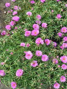 Portulaca Flowers, Portulaca Grandiflora, Lilac Flowers, Wall Flowers, Creeping Phlox, Early Spring Flowers, Ice Plant, Ground Cover Plants, Sandy Soil