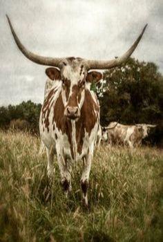 Dan Routh...Longhorn Cow's