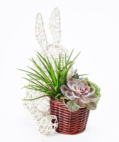 Look what I found on #zulily! Rabbit Live Succulent #zulilyfinds