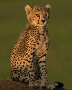 Cheetahs, Animals Of The World, Fauna, Photo Contest, Animals Beautiful, Fox, Africa, Iran, Link