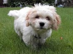 Cavachon. Some day I will have a small dog that doesn't shed and loves to keep feet warm.