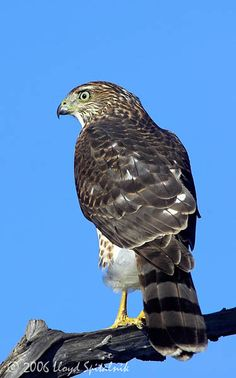 Cooper's Hawk. We have one of these at my townhome complex. Duck and cover little finches!