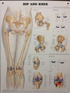 Hip and Knee anatomy poster provides detail on the hip joint with lateral, anterior and posterior views. Skeletal system for doctors and nurses. Muscle Anatomy, Body Anatomy, Hip Anatomy, Medical Anatomy, Human Anatomy And Physiology, Ab Workout At Home, Sports Medicine, Knee Injury, Massage Therapy
