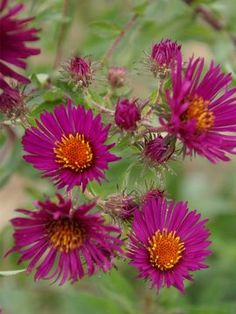 Vivid ruby rose flowers with large yellow-orange centers on tall arching stems with rich green, lance-shaped foliage. Aster September Ruby provides eye-catching fall color to the back of the border garden. Cut Flower Garden, Flower Pots, Colorful Flowers, Beautiful Flowers, Autumn Flowering Plants, Aster Flower, Rose Flowers, Pink Roses, Gardens