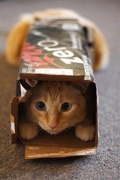 Seu felino também costuma se esconder em caixas? Veja por que ele faz isso! #gatos #cats #animais #animals