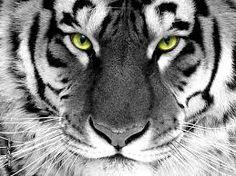 Výsledek obrázku pro content looking tiger