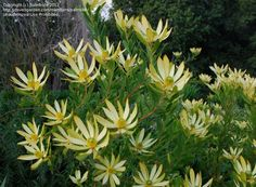 Image result for xeriscape ideas with protea