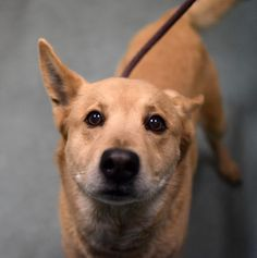 """TO BE DESTROYED 2/24/15 Brklyn Ctr SMOKEY ID#A1028028 Male tan germ shep mix 2 YRS old STRAY***MISUNDERSTOOD PUP- ON DEATH ROW!!! His finder reports he was """"friendly towards & enjoyed the car ride"""". Sociable & allowed all handling for intake. Volunteers said he has good leash manners & may have housetraining...very calm & okay when he met another dog...takes treats nicely & likes to be pet. Smokey needs someone who understands him— scared, lost & HE NEEDS YOUR LOVING, PATIENT HEART!!"""