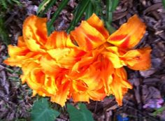 Orange hibiscus from Joyce's garden. #Pin By:Pinterest++ for iPad#