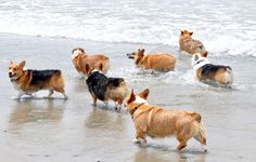 Don't be surprised if you see Andrew and I out walking this many corgis one day. #lovecorgis