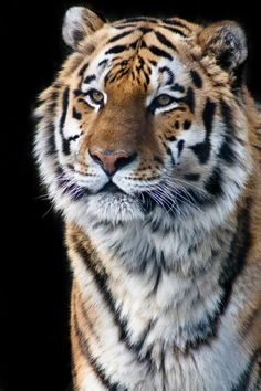 Took this picture of a tiger at the Cape May Zoo.