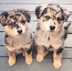 twinning speckled pups