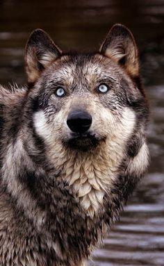 wolf. those eyes.