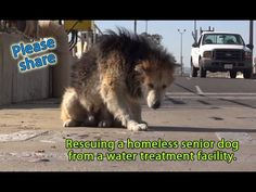 Rescuing a homeless senior dog from a water treatment facility.  Please ...
