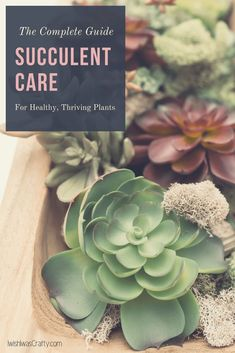 Succulent Care is easier than you think. Don& have a green thumb? No worries, this is your complete guide to healthy, thriving plants. Succulent Soil, Propagating Succulents, Growing Succulents, Cacti And Succulents, Planting Succulents, Succulent Ideas, Succulent Landscaping, Landscaping Ideas, Container Gardening