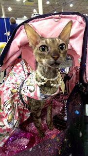 Coco, the Couture Cat: Monday Musings, Coco is Pretty in Pink! Pet Fashion, Cat Walk, Fundraising, Pretty In Pink, Favorite Color, Couture, Pets, Animals, Walkway