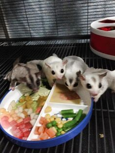 This is a list of sugar glider diets. Gliders need a staple diet to ensure they live long healthy lives. 2015 © Kian Aoki