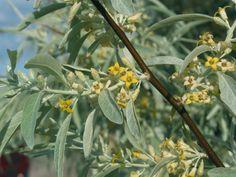 Wild Olive, Tree Seeds, Wild Flowers, Berries, Remedies, Woody, Google Search, Medicine, Home