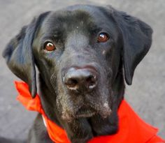 SAFE❤️❤️ 4/16/16 Manhattan Center ARTHUR – A1069979 MALE, BLACK, LABRADOR RETR, 6 yrs OWNER SUR – EVALUATE, NO HOLD Reason NO TIME Intake condition EXAM REQ Intake Date 04/11/2016, From NY 10029, DueOut Date 04/11/2016,