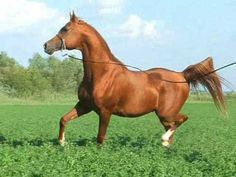 Herghelia Cernavoda - cai arabi de vanzare