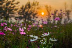 夕阳下的格桑花 - 夕阳下,格桑花娇艳的盛开着。