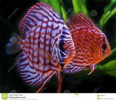 Discus fish Discus Aquarium, Discus Fish, Freshwater Aquarium, Aquariums, Beautiful Fish, Animals Beautiful, South American Cichlids, Fish Breeding, Fish Tales