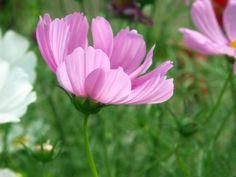 Resultado de imagem para cosmos flower