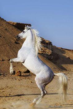 Arabian Horse - is amazing animal