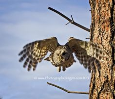 Oregon Birds-Barred Owl.  A big favorite because it was hanging out in the park for a while.  Here's the story:  http://www.photographoregon.com/Barred-Owls.html #Oregon #owl #photography