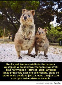 Nie wszystko w Australii chce cię zabić - Kuoka jest średniej wielkości torbaczem. Występuje w południowo-zachodniej Australii oraz na wyspach Rottnest i Bald. Wygląda jakby przez cały czas się uśmiechała, przez co przez wielu uważana jest za jedno z najbardziej uroczych zwierzaków na świecie.  Di