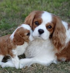 Pinterest King Charles Puppy, Cavalier King Charles Dog, King Charles Spaniels, Spaniel Puppies, Cocker Spaniel, Schnauzer, Animals And Pets, Cute Animals, Terriers