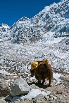The Himalayas of the Mount Everest Region, Nepal. An homage to the Yak