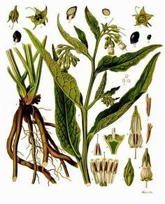 Vintage & Today: Herbarium of the nineteenth century - Sympathum of...