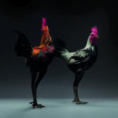 Chickens Are Just Stunning.