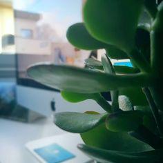 Heute ist #tagderzimmerpflanze ! 🌿 Aus diesem Grund haben wir unsere Büropflanzen mit ganz viel Liebe besprüht 💦 Wie schlagen sich eure Büropflanzen so? #pflanzenflüsterer 🤓... #WEBMARKETIERE  #agenturalltag #agenturleben #agentur #bürogrün #sukkulentenliebe #houseplantappreciationday #oldenburg #unseroldenburg #onlinemarketing #digitalmarketing #internetagentur #werbeagentur #agency #agencylife    #Regram via @webmarketiere Oldenburg, Behind The Scenes, Plant Leaves, Instagram, Plants, Advertising Agency, Succulents, Weaving, Animals