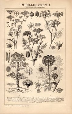 1898 Umbelliform Flowers Antique Botanical Print by Craftissimo