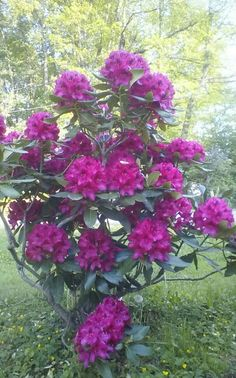 My rhodadendron plant I Love the color