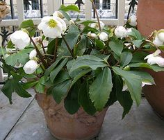 Helleborus niger, Christmas rose and it does bloom in December!