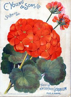 Geranium seed packet art. #illustration #orange #red #flowers