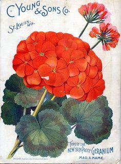 Geranium seed packet art. #illustration #orange #red #flowers