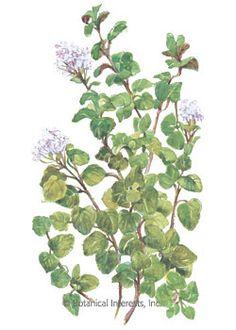 Oregano True Greek HEIRLOOM Seeds
