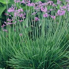 Society Garlic - also called pink agapanthus. South African plant that repels mosquitoes and is grass-like.