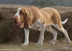 bracco italiano hunting - Google Search