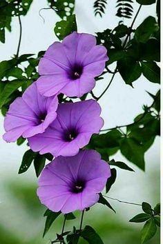 I Love Purple Morning Glory Flowers! Exotic Flowers, Amazing Flowers, My Flower, Colorful Flowers, Purple Flowers, Flower Art, Beautiful Flowers, Big Flowers, Flowers Garden