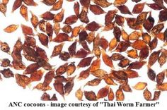 Worm Cocoons Gallery | Worms For Worm Farms & Fishing Bait, Brisbane & Ipswich | 0419 419 572
