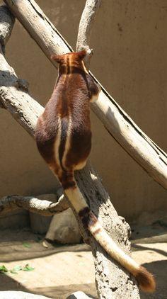 Древесные кенгуру Гудфеллоу Фланнери, Dendrolagus goodfellowi pulcherrimus