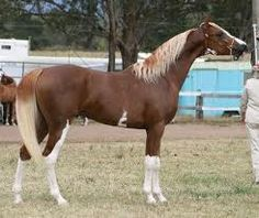 http://crabbetarabiangroupaus.webs.com ~ Crabbet bred Chest Arabian with Wing Marking and high stockings
