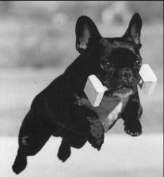 Wow what a beautiful Frenchie!